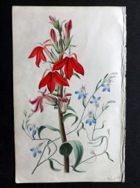 Twamley - Romance of Nature 1836 Hand Col Botanical Print. Cardinal Flower, Blue Lobelia 25